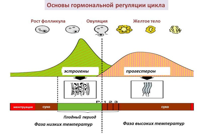 Гормональная регуляция цикла